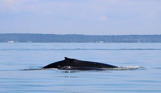 Humpback Whales - Straight of Georgia, Canada