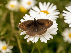 Meadow Brown Butterfly (niloc's pic's) Tags: meadowbrown butterfly maniolajurtina insect lepidoptera wakehurstplace nationaltrust kewgardens sussex panasonic lumix dmcgh4r