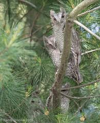 Family outing (rdroniuk) Tags: birds raptors owls owl birdsofprey screechowl megascopsasio easternscreechowl oiseaux rapaces oiseauxdeproie petitducmaculé hiboux screech graymorphscreechowl easternscreechowlfledglings