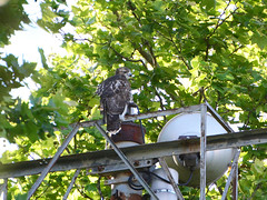 Lonely Fledgling - 1099 (rbs10025) Tags: redtailedhawk buteojamaicensis bird young fledgling grantstomb general grant national memorialmorningside heights manhattan nyc