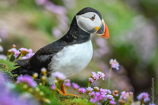 Another Saltee Puffin