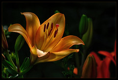 Picture of a lily.... (scorpion (13)) Tags: lily blossom plant color creative frame garden sun photoart flower nature