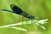 Banded demoiselle ... male (AndyorDij) Tags: bandeddemoiselle calopteryxsplendens england empingham rutland uk unitedkingdom andrewdejardin damselfly insect insects 2018