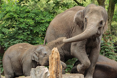 Asiatic elephants having fun (K.Verhulst) Tags: elephant elephants asiaticelephants olifanten aziatischeolifanten blijdorp diergaardeblijdorp rotterdam