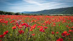 Coquelicots de la vallée de l'Asse (Alpes de haute Provence) - France (pascal548) Tags: ciel alpesdehauteprovence france