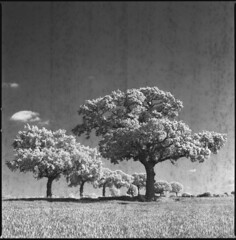 trees (steve-jack) Tags: hasselblad 501cm 80mm cb ilford sfx 200 zomei 720nm filter film 120 6x6 backingpapervsemulsion hertfordshire buntingford perceptol epson v500
