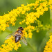 Yellow (lensflare82) Tags: gelb yellow makro macro natur nature blossom blüte outdoor detail schwebefliege hainschwebefliege fly fliege schwirrfliege insekt insect eos 700d canon summer sommer blume biene pflanze plant explored explore