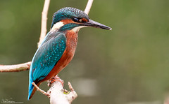 Kingfisher (Steve (Hooky) Waddingham) Tags: bird british blue countryside nature fish fishing wild wildlife water river photography pool