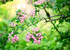 Blossoms (Emeraldboots) Tags: blossom tree pink flowers branch nature closeup outdoors
