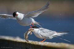 Forster's Tern (mallardg500) Tags: shorebird phoochancom forsterstern mallardg500 phoochan mountainview
