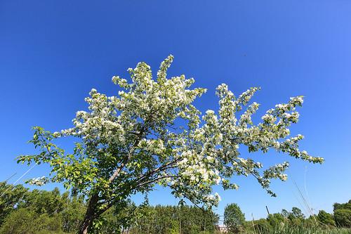 White Apple Tree