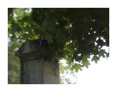 Grave and Late Spring Leaves (Sean Anderson Media) Tags: pentaxq pentax07mountshieldlens grave graveyard cemetery warrencemetery gravestone leaves spring tree nature memorial vintage vintagelook lofi lofilook plasticlens lofilens retro retrolook blurry grain softfocus gurnee illinois