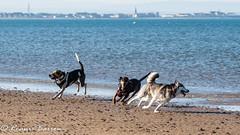 chasing (RCB4J) Tags: ayrshire clydecoast firthofclyde irvinebeach jakob rcb4j ronniebarron scotland sigma150500mmf563dgoshsm sonyilca77m2 art babygrace beach dobermanterrier dogs fun photography play playing sand siameselurcher traile trailhound