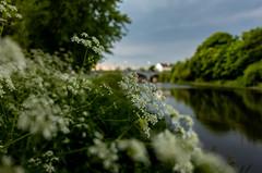 River Bann (Glenn Cartmill) Tags: riverbann portadown river northernireland countyarmagh uk unitedkingdom ireland nireland ulster flower riverbank riverside outside spring may 2018 dof bokeh sony rx100m5 rx100v