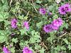 Molocha (RobW_) Tags: mallow wild flowers molocha arachova viotia greece saturday 12may2018 may 2018