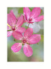 Apple Tree Flower (The Visioneer) Tags: nature pink burgundy closeup petals appletree