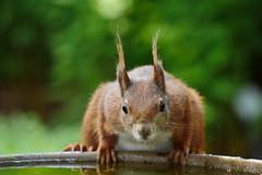 Durst (lebastian) Tags: wildlife panasonic dmcgx8 lumix g vario 100300f4056ii squirrel eichhörnchen aminal tier tele