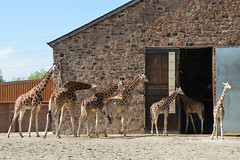 Rothschild's Giraffe (Giraffa camelopardalis rothschildi) (Seventh Heaven Photography) Tags: rothschilds giraffe giraffes giraffa camelopardalis rothschildi chester zoo cheshire england nikond3200 millie meru sanyu orla narus murchison zarha animal mammal