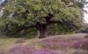 late summer (Jos Mecklenfeld) Tags: minoltax700 minolta x700 minoltamd50mmf20 minoltamd50mmf2 minoltamd50mm minoltamd agfavista agfavista200 agfa agfavistaplus epsonv500 film analog analogue ishootfilm borkenerparadies versen meppen emsland germany deutschland duitsland heath heide oak eiche eik nature natur natuur