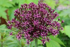Allium 'Miami' (Owl Prints) Tags: mygarden allium alliummiami bulbs alliaceae purpleflowers purple flowers