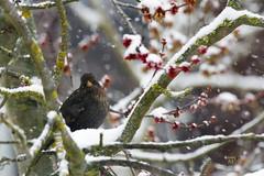 _MG_9014 (Foto Massimo Lazzari) Tags: fotomassimolazzari bird inverno neve