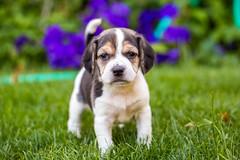 Those Puppy Dog Eyes (Thomas Hawk) Tags: america bayarea california eastbay piedmont usa unitedstates unitedstatesofamerica westcoast beagle dog puppy fav10 fav25