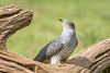 Cuckoo 500_9745.jpg (Mobile Lynn) Tags: birds nature cuckoo bird fauna wildlife coth specanimal coth5 ngc npc
