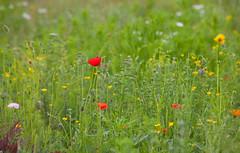 English Summer Meadow (Adam Swaine) Tags: londonparks londonmeadows meadows englishmeadows wildflowers commonpoppy dulwichpark nature naturelovers flora flowers england english britain british summer seasons canon uk beautiful naturesfinest