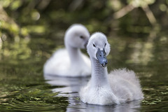 C'est moi! (et mon petit frère derrière moi) - It's me! (and my young brother behind me) (bboozoo) Tags: lake lac oiseau bird nature animal wildlife swan cygne bébé baby canon6d tamron150600