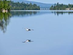 Flying Low (Meryl Raddatz) Tags: boat nature seagull