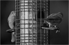 magic hour dining (karma (Karen)) Tags: baltimore maryland home backyard birds feeders dof bokeh mono bw hmbt cmwd