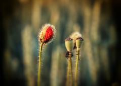 poppies (Krzysztof Krr) Tags: sony a6000 nex sel50f18 bokeh dof flowers poppies