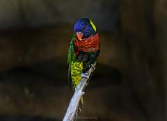 Rainbow Lory (@Katerina Log) Tags: parrot bird depthoffield bokeh colour closeup outdoor attikazoopark katerinalog natura nature portrait wildlife wings feathers beak