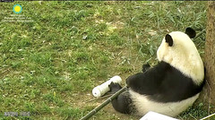 2018_06-07a (gkoo19681) Tags: beibei chubbycubby fuzzywuzzy adorableears feetsies bootime comfy contentment quiettime alonetime toocute adorable precious ccncby nationalzoo