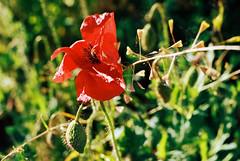 Poppy flower (film) (mkk707) Tags: leica itsaleica leicar6 leitzmacroelmaritr60mmf28 kodakportra400 wwwmeinfilmlabde vintagefilmcamera vintagelens film analog macro bokeh