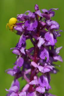 Early purple orchid with crabb spider