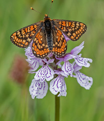 DSC0762  Marsh Fritillary.. (jefflack Wildlife&Nature) Tags: fritillary marshfrittilary lepidoptera butterflies butterfly insects insect wildlife wetlands marshland meadows marshes heathland hedgerows countryside nature jefflackphotography