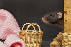 Rat and basket (Tambako the Jaguar) Tags: rat pet rodent female black profile portrait basket props photoshooting macro cute zürich switzerland nikon d5