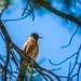 The king bird- American Robin (Turdus migratorius)