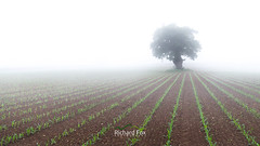 Rooted Vegetables (http://www.richardfoxphotography.com) Tags: oak oaktree maize sweetcorn field fog foggy agriculture farm farmland devn sunrise