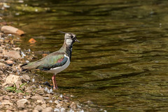 Lapwing (iantaylor19) Tags: brandon marsh nature reserve warwickshire wildlife trust lapwing