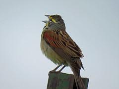 IMG_0104-1 (lbj.birds) Tags: kansas nature flinthills wildlife bird dickcissel