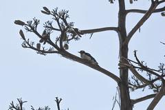 IMG_1288 (armadil) Tags: sanfrancisco sanfranciscobotanicalgarden sfbotanicalgarden bird birds woodpecker woodpeckers motherhood spring downywoodpecker downywoodpeckers agave