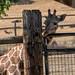 Giraffes at Safari West