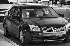 Watcha lookin at Pilgrim! (TAC.Photography) Tags: dogs monochjrome blackandwhite bw blackwhite automobile baycitymichigan humor humorous funny whimsical tacphotography tomclarknet d7100