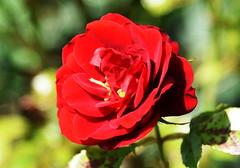 DSC_0262 (PeaTJay) Tags: nikond750 reading lowerearley berkshire macro micro closeups gardens outdoors nature flora fauna plants flowers rose roses rosebuds