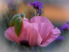 Ascot Lady (ursulamller900) Tags: poppy hat hut mygarden mohn pentacon28100 macromademoiselle