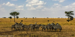 2017.06.23.2683 Zebras (Brunswick Forge) Tags: 2017 safari grouped africa tanzania serengeti nature wildlife favorited commented