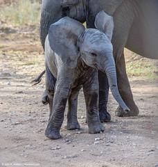2017.06.23.3183 Elephant (Brunswick Forge) Tags: 2017 safari grouped africa tanzania serengeti nature wildlife favorited commented
