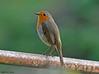 Rougegorge familier (Erithacus rubecula ) (jean-lucfoucret) Tags: nikon d500 bokeh nikkor 200500 oiseau bird aves rougegorge familier european robin erithacus rubecula passereaux passereau plumage passeriformes